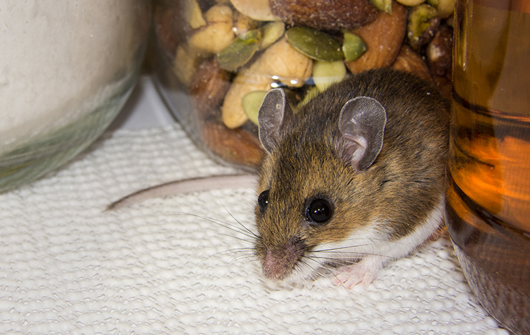 a mouse inside a kitchen in a home in houston texas