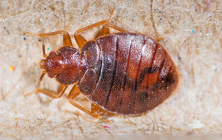 a bed bug crawling in a home in delray beach florida