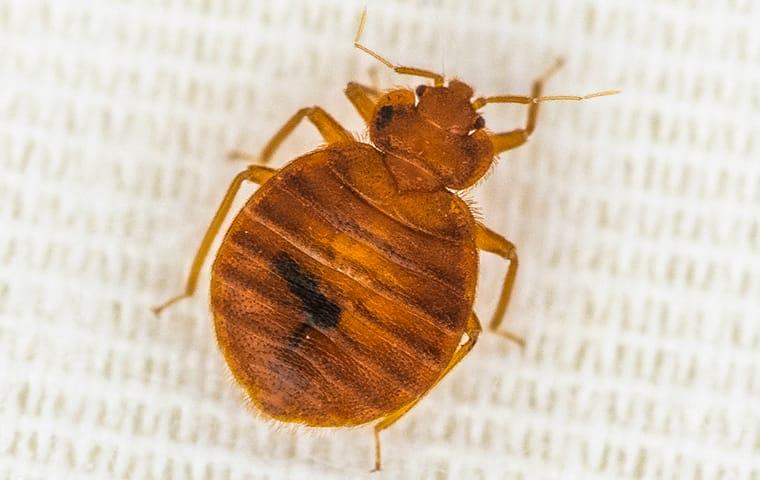 a bed bug crawling on bedding in a home in lake worth florida