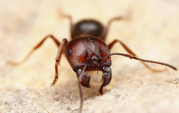 a big headed harvest ant