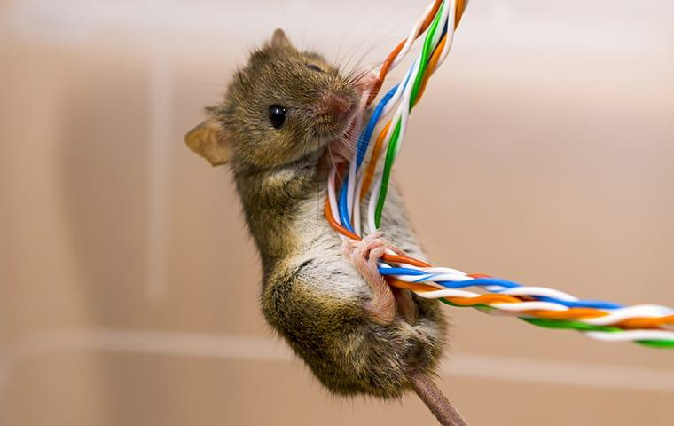 a house mouse climbing up television wiring inside of a boca raton home