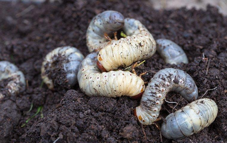 white grubs in the ground