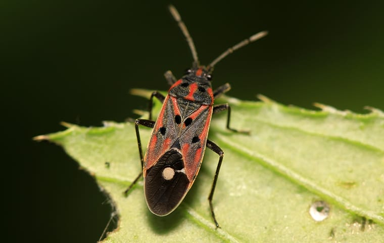 a chinch bug on leaf outside home in palm beach florida