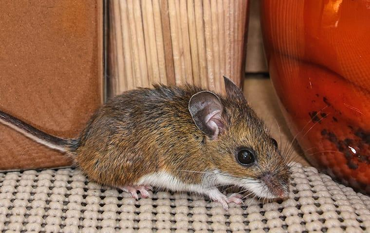 a house mouse crawling inside a kitchen in boca raton florida