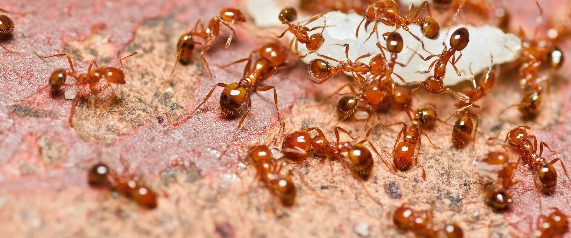 a swarm of fire ants outside of a home in boca raton florida