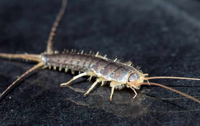 a silverfish crawling on a desk in an office in fort lauderdale florida