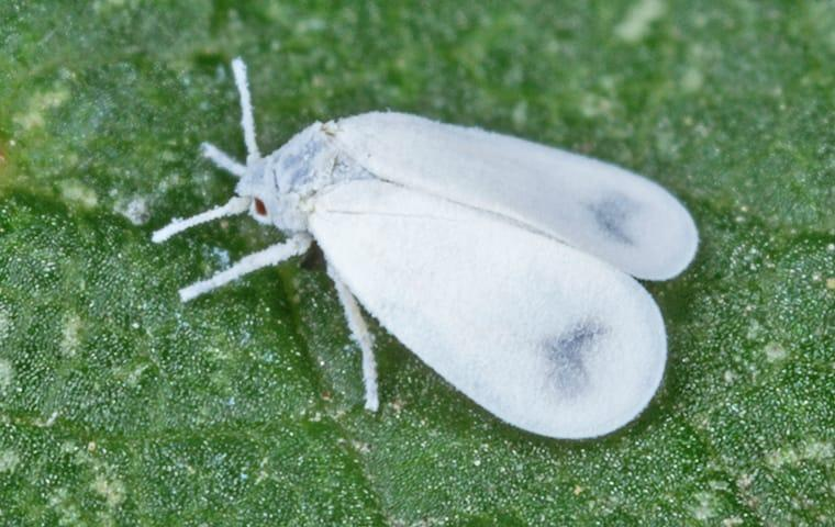 a whitefly crawling on the leaf of a plant in a garden in boca raton florida