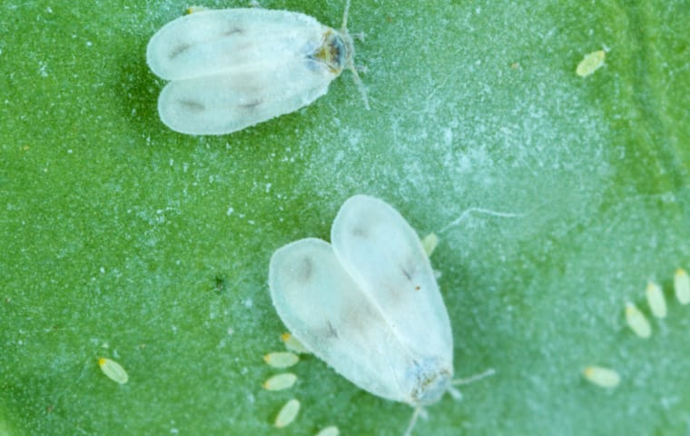 several whiteflies crawling outside of a home in boca raton florida