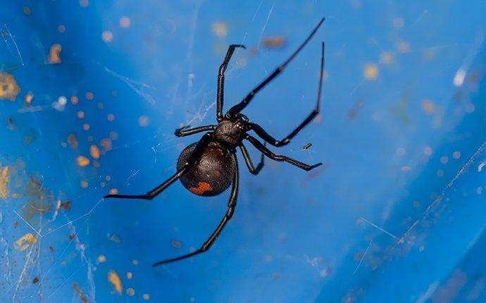 black widow in a web outside