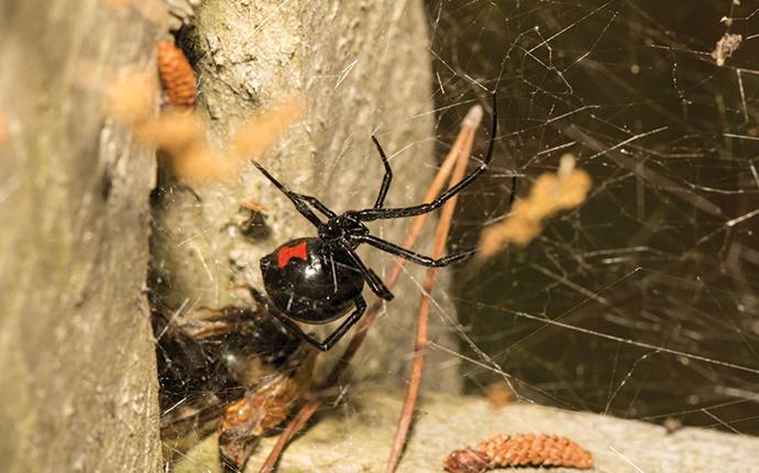 a black widow spider in its web in a basement