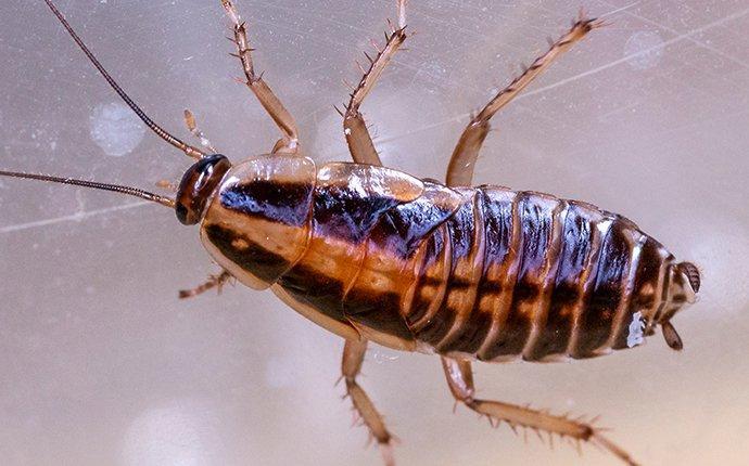 german cockroach on glass