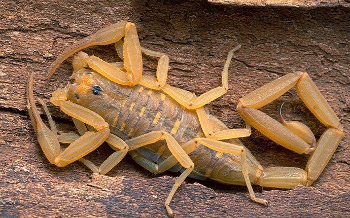 las vegas scorpion in a yard