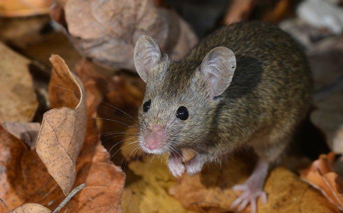 a mouse foraging through a pile of leaves