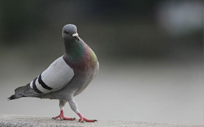pigeon-walking-on-gravel