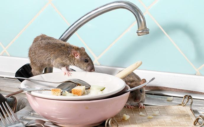 rodents on a sink