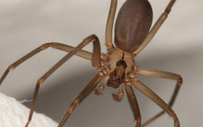 a brown recluse spider hanging on its web