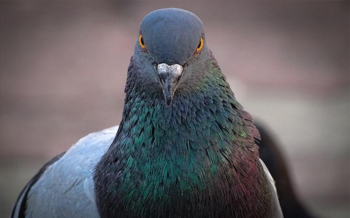 close up of pigeon