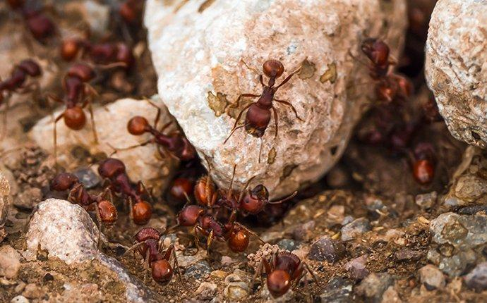 fire ants crawling in landscaping