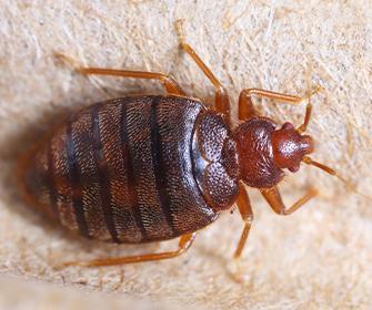 bedbug on box spring