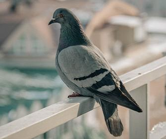 pigeon perched on porch