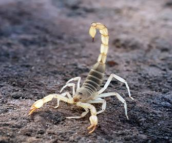 scorpion in the dirt