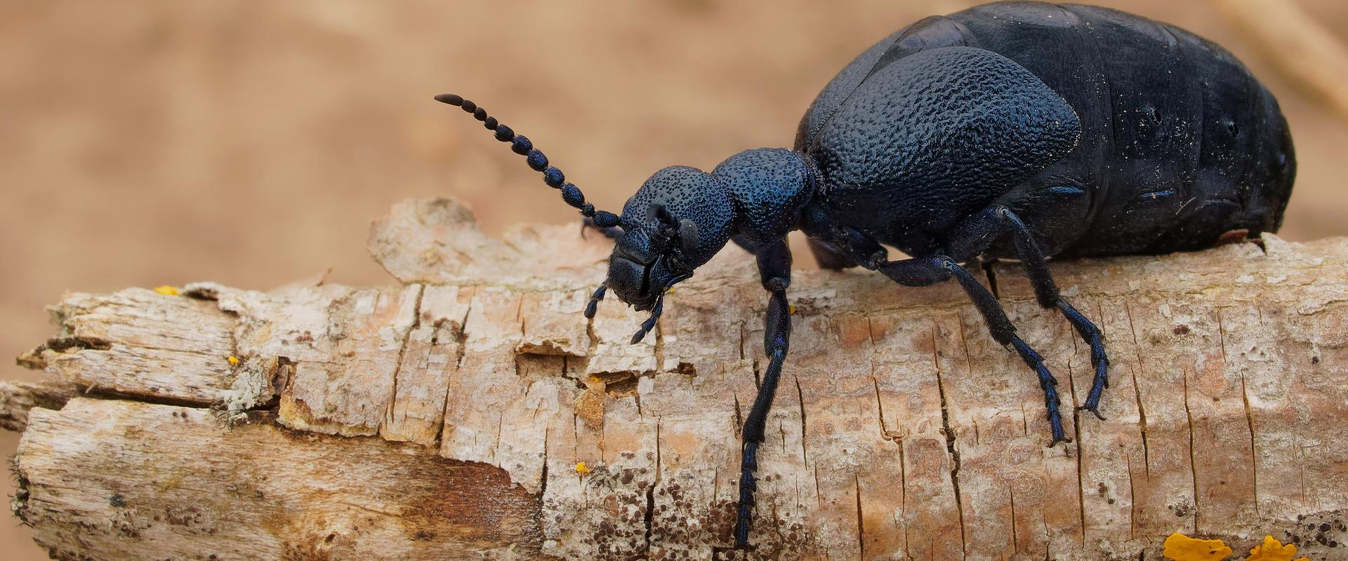 beetle on wood