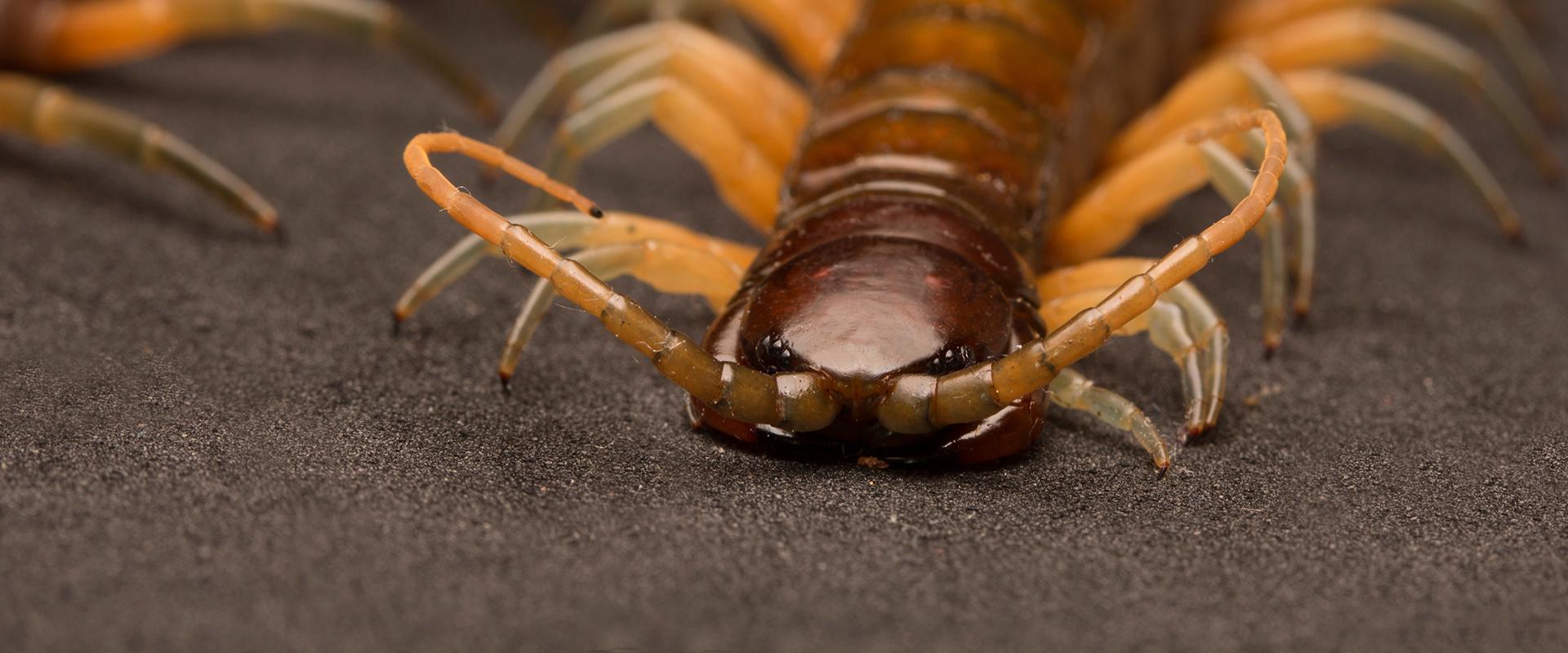 a close up of a centipede