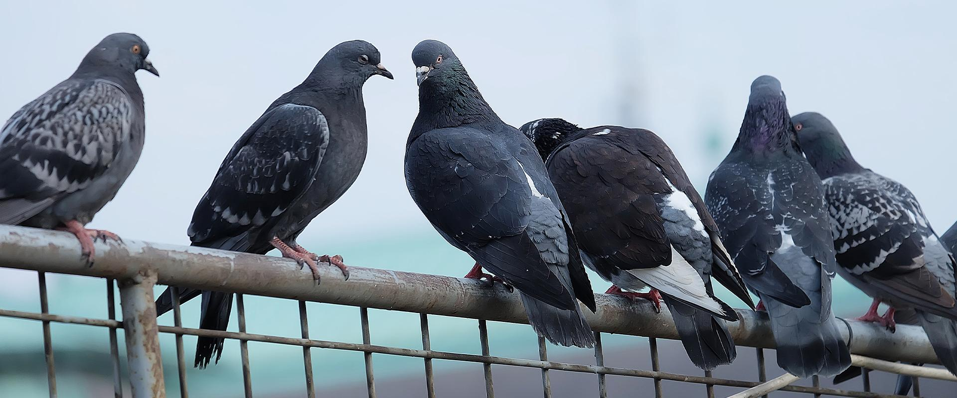 pigeons perched on rail