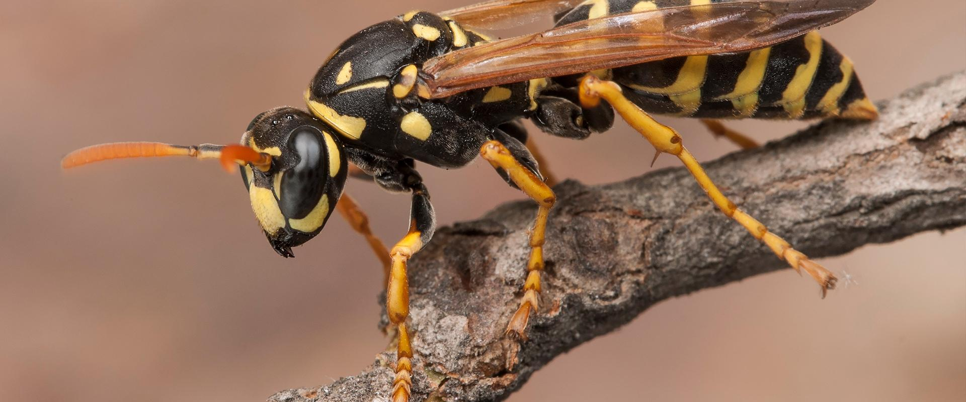 wasp on a branch