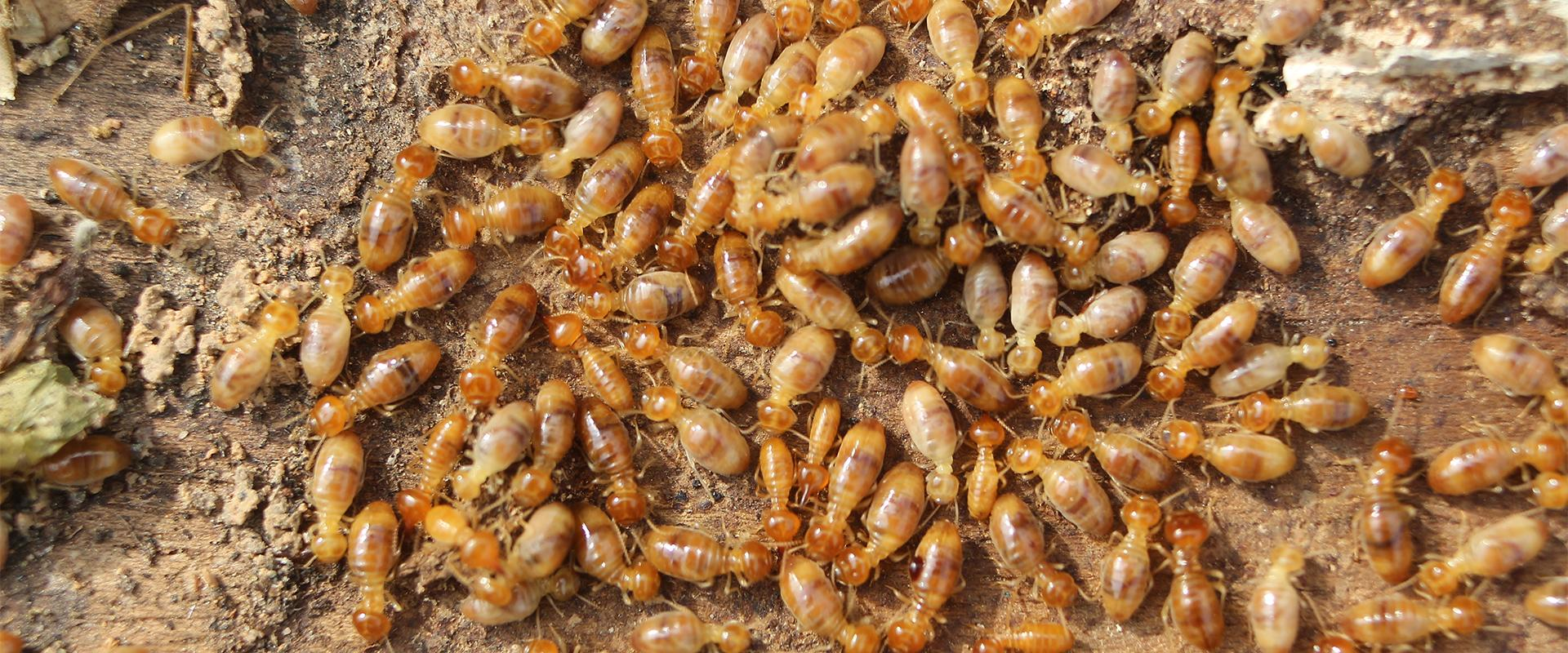 a mass of termites on dirt