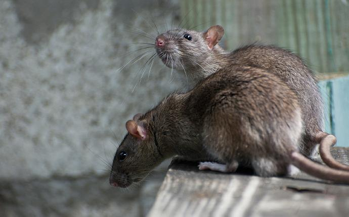 rats on a table