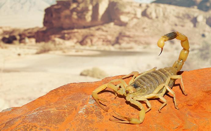 scorpion on a arid boulder