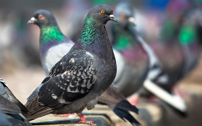close up of pigeons perched on wood
