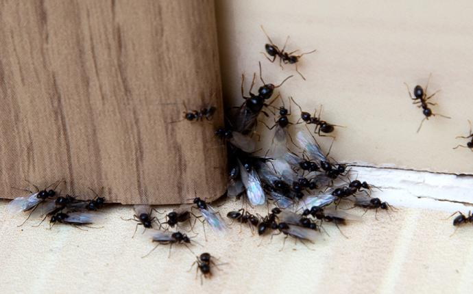 ants at baseboard in house