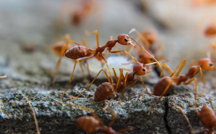 fire ants on rock
