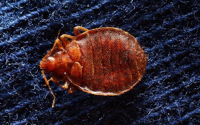 close up of a bedbug