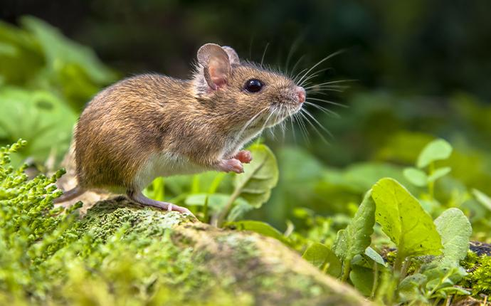 a mouse in the grass