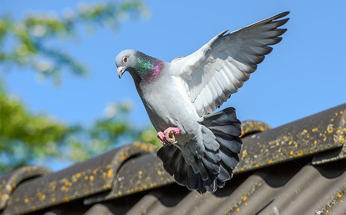 a pigeon taking flight