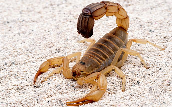 a scorpion in the sand