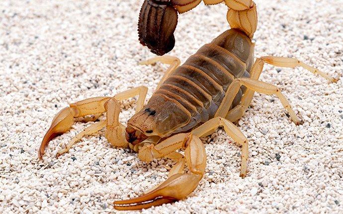 a scorpion crawling in sand in alameda california