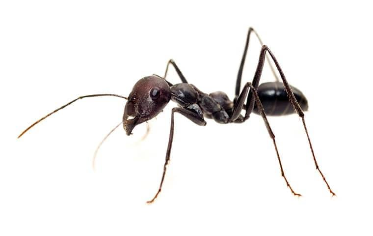 a black ant on a white background