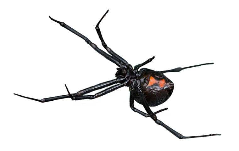 black widow spider on white background with legs extended out