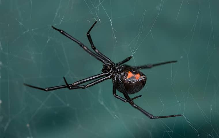 a black widow spider on its web
