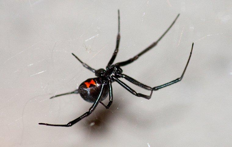 a black widow spider hanging in a window