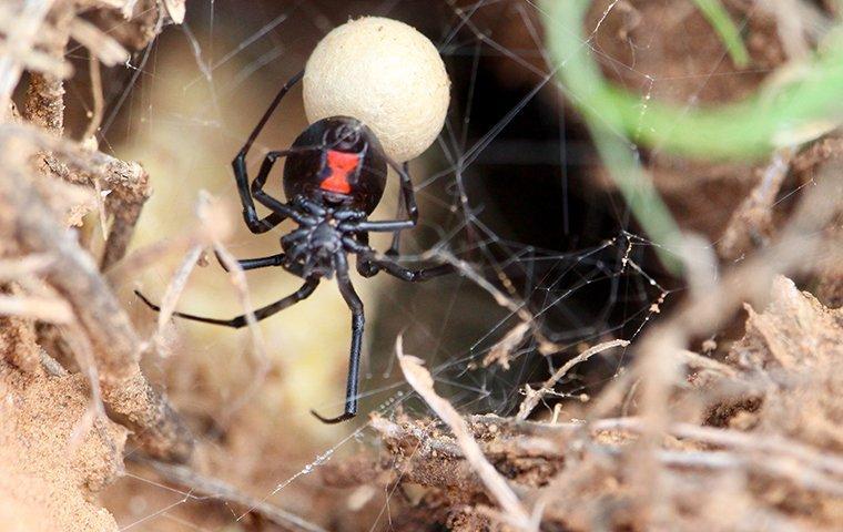 black widow spider in nest