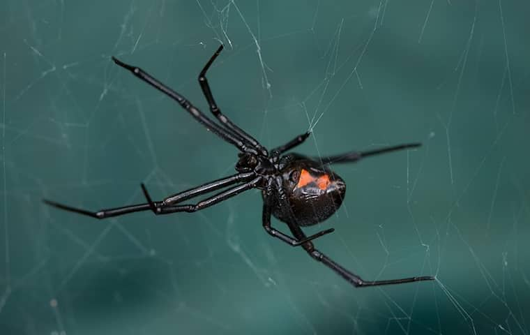 a black widow spider hanging on its web in a roseville backyard