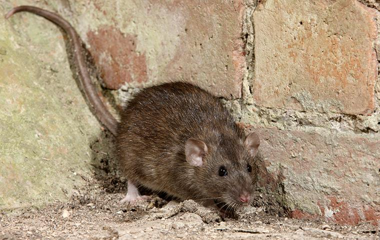a brown rat crawling near a foundation