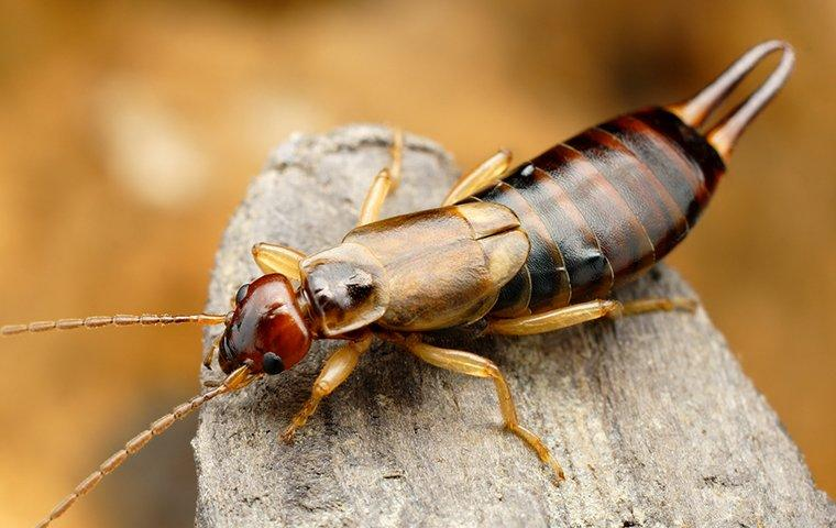 earwig crawling on tree limb