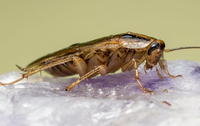a german cockroach infesttaion in a sacramento california home