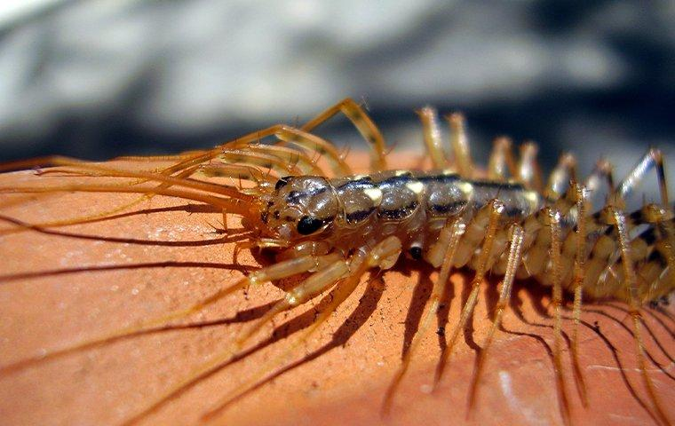 house centipede crawling in a basement